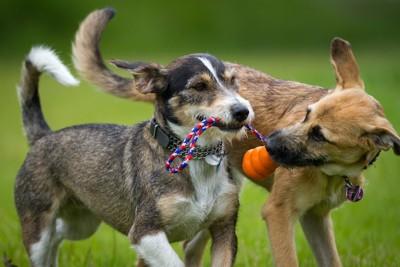 ひとつのおもちゃを一緒にくわえている二頭の犬