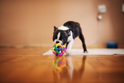 おもちゃで一人遊びをしているボストンテリア