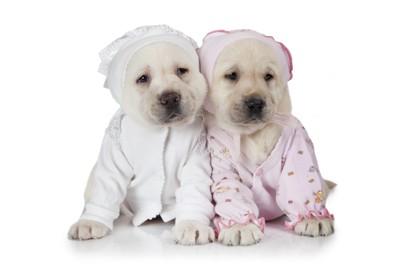 パジャマを着た二匹の子犬