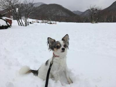 雪原にチワワ