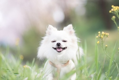 目を閉じて微笑む白いチワワ、黄色い花