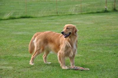 芝生の上で佇むゴールデンレトリバー