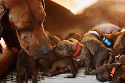 子犬たちの世話をする母犬