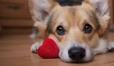 赤いハートと寝そべる犬