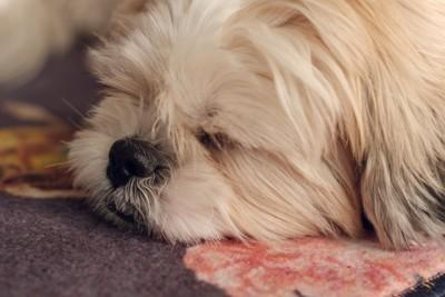 眠るシーズー
