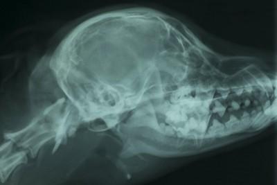 犬の頭のレントゲン