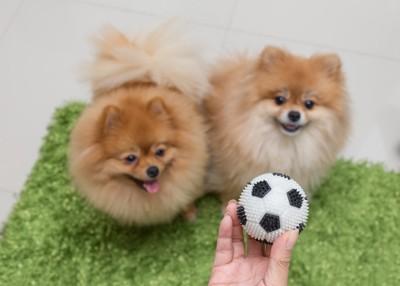 サッカーボールとポメラニアン