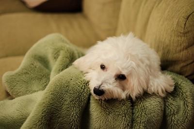 もふもふな犬