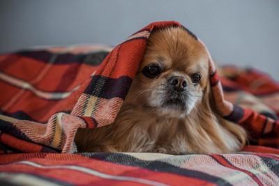毛布を被る犬