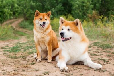 柴犬と秋田犬が並んでいる