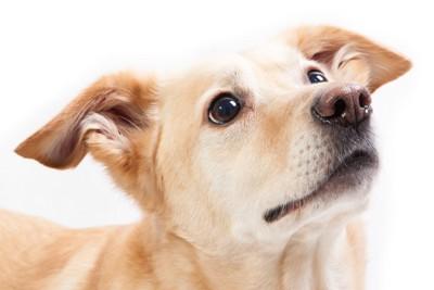 斜め上を見る犬