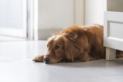寝そべりながら寂しそうにこちらを見る犬