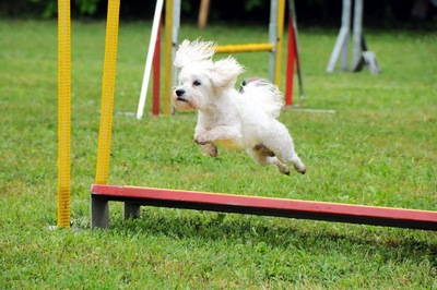 犬が障害物をジャンプしている