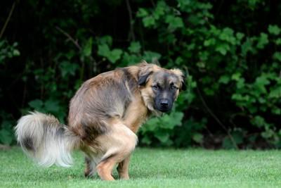 芝生でトイレ中の垂れ耳の犬