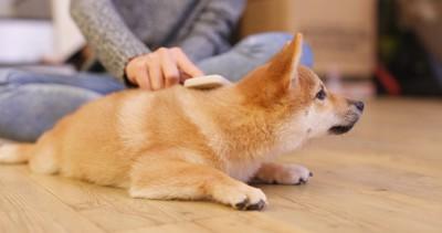ブラッシングする柴子犬