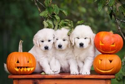 犬達とランタンかぼちゃ