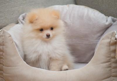 ベッドに入るポメラニアンの子犬