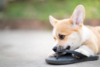 靴を噛んで遊ぶコーギー