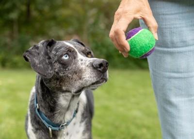 飼い主が持つボールを見つめる犬
