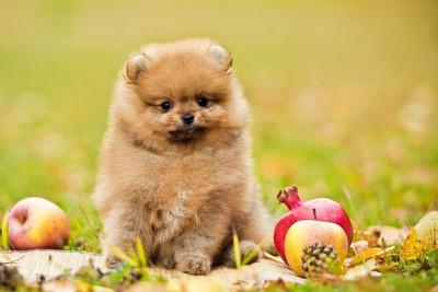 果物に囲まれてオスワリする犬
