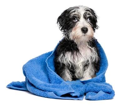 青いタオルに包まれる濡れた犬