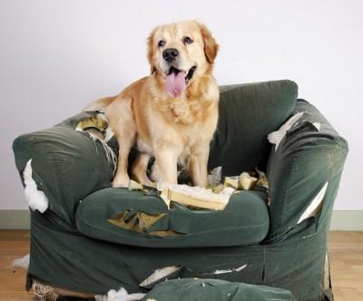 ソファーを壊したゴールデンレトリバー