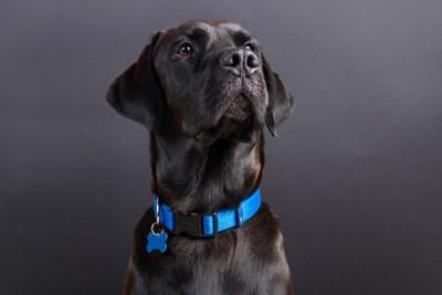 青い首輪の黒い犬