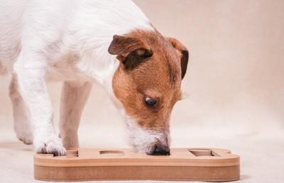 パズルの匂いを嗅いで遊ぶ犬