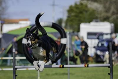 跳んで輪をくぐる犬
