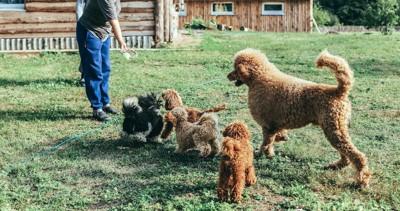 飼い主と屋外で遊ぶスタンダードプードルと子犬たち