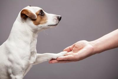 真っすぐ飼い主を見つめてお手をする犬