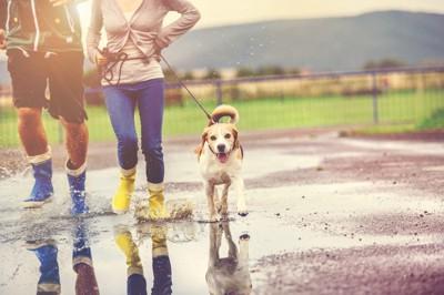 雨上がりに散歩している犬