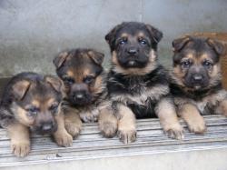 4匹の子犬