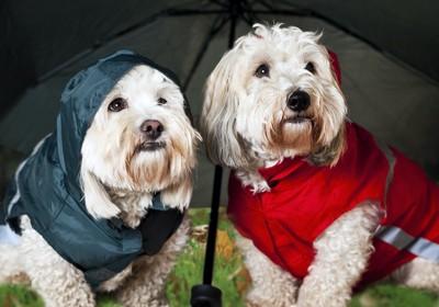 傘の下で色違いの服を着た犬