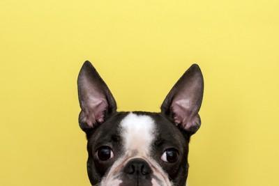 耳を立ててる犬の顔アップ