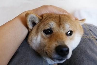 飼い主の膝に顔をのせてそっぽを向く柴犬
