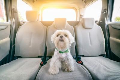 後部座席に座る小型犬