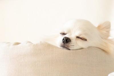 目を閉じているチワワ、白い背景