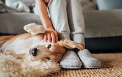 飼い主の足元に寝転んで撫でてもらう犬