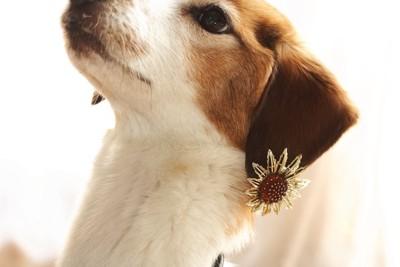 耳に飾りをつけた犬
