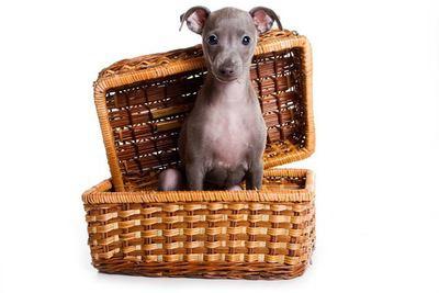 カゴに入ったイタリアングレーハウンドの幼犬