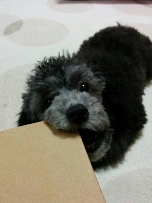 かわいく噛む犬