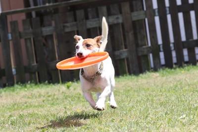 ドッグランで走り回って遊ぶ犬