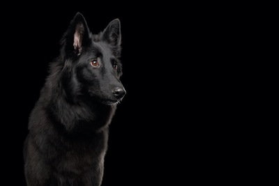 暗闇の中で真剣な眼差しの黒い犬