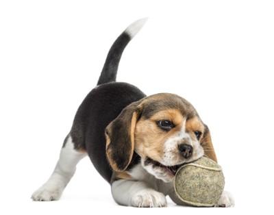 ボールを噛んでいるビーグル