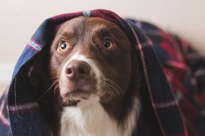 驚いてブランケットをかぶっている犬