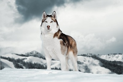 雪の上に立つシベリアンハスキー