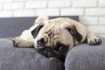 悲しそうにソファーに横になるパグ