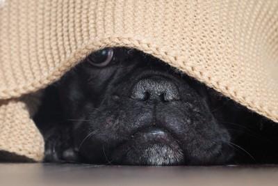 ブランケットに隠れる黒い犬