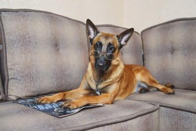 ソファーで雑誌を読むシェパード